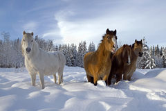 Welsh Ponies in snow Royalty Free Stock Photo