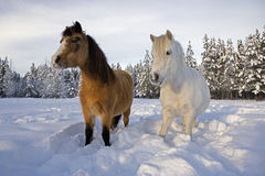 Welsh Ponies in Royalty Free Stock Photos