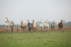 Welsh ponnies in autumn Stock Images