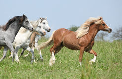 Welsh ponnies with chestnut one in the lead running Royalty Free Stock Images