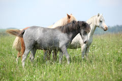 Welsh ponnies in high grass Royalty Free Stock Images