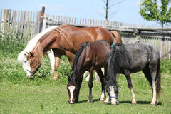 Welsh ponnies on pasturage Royalty Free Stock Photo