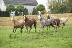 Welsh ponnies running in autumn Royalty Free Stock Photos