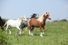 Welsh ponnies running together Royalty Free Stock Photo