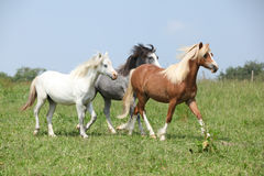 Welsh ponnies running together. On green pasturage Stock Photography