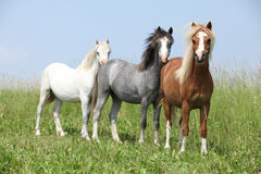 Welsh ponnies standing in the line Royalty Free Stock Photography