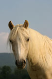 Welsh pony. Portrait of a lovely welsh pony stock photo