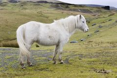 Welsh Pony 2. Welsh Pony, Black Mountains, Wales. The land where horses run free Stock Image