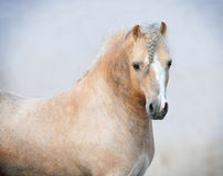 Welsh pony. The welsh mountain pony stallion Stock Image