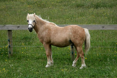 Welsh Pony Stock Photos