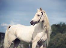 Welsh pony cream stallion at sky background Royalty Free Stock Photo