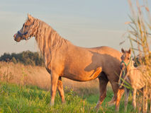 Welsh pony dam with foal at sunset Royalty Free Stock Photos