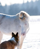 Welsh pony and dog takling Stock Photos