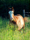 Welsh pony  in the field at the evening Royalty Free Stock Photography
