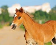 Welsh pony foal Stock Photo