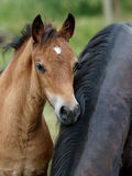 A Welsh Pony Foal Royalty Free Stock Photo