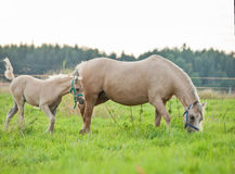 Welsh  pony  foal with mom. cloudy evening Stock Photos