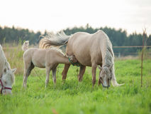 Welsh  pony  foal with mom. cloudy evening Royalty Free Stock Photo