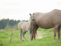 Welsh  pony  foal with mom. cloudy evening Royalty Free Stock Image