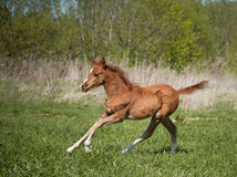 Welsh pony foal running Stock Image