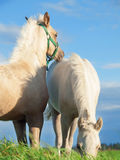 Welsh  pony  foales  in the pasture at sky background Royalty Free Stock Images