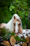 Welsh pony in forest Royalty Free Stock Images