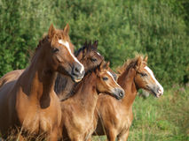 Welsh Pony Herd Stock Photography