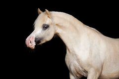 Welsh pony isolated on black Stock Photos