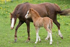 Welsh pony mare with foal Stock Photography