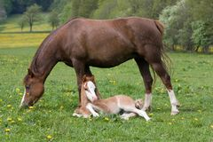 Welsh pony mare with foal Stock Images