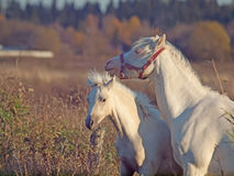 Welsh  pony mare and her foal in meadow.sunny  evening Royalty Free Stock Photography