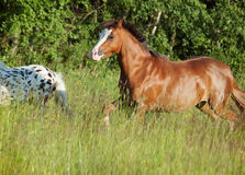 Welsh pony and mini Appaloosa running  in the field Stock Images