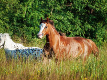 Welsh pony and mini Appaloosa running  in the field Royalty Free Stock Photo