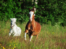 Welsh pony and mini Appaloosa running  in the field Stock Photography