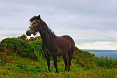 Welsh Pony near Cliffs of Moher Hags Head Ireland Stock Photos