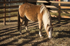 Welsh pony. Welsh ponies in the paddock Royalty Free Stock Photos