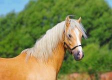 Welsh pony portrait Stock Photos