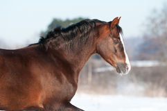 Welsh pony portrait in winter. Welsh pony runs gallop in winter, portrait close up Stock Photo