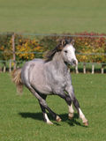 Welsh Pony Running Royalty Free Stock Images