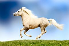 Welsh pony stallion. Galloping on field Royalty Free Stock Photo