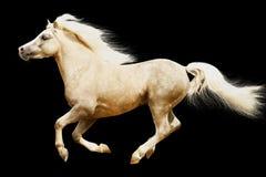 Welsh pony stallion. Isolated on white Royalty Free Stock Photography