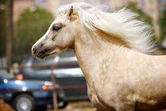 Welsh pony stallion. Close up moving Stock Image