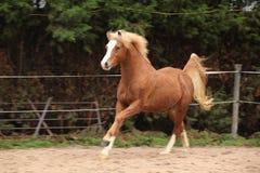 Welsh pony stallion chestnut with blond hair. Welsh pony stallion section B chestnut with blond hair royalty free stock photo
