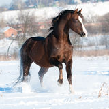 Welsh pony stallion playing in winter Royalty Free Stock Photos