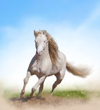 Welsh pony stallion Royalty Free Stock Photos