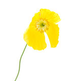 Welsh poppy Stock Image