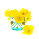 Welsh poppy. (meconopsis cambrica) in shallow blue glass, isolated on white Royalty Free Stock Photos