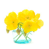 Welsh poppy Royalty Free Stock Photo