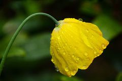 Welsh Poppy In The English Rain Royalty Free Stock Image