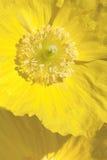 Welsh poppy flower Royalty Free Stock Photos